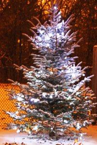 srebrny świerk w ogrodzie pokryty śniegiem