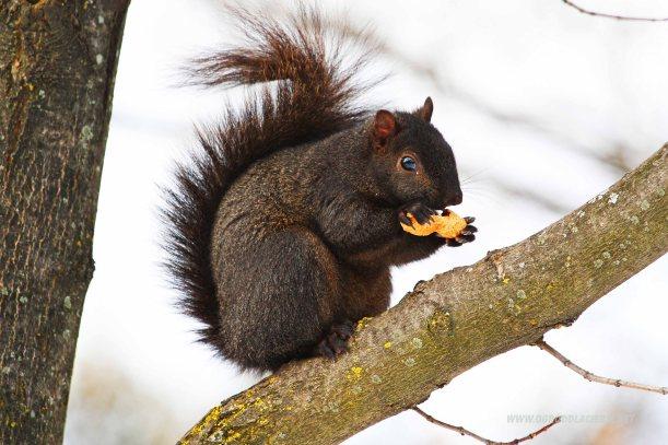 wiewiórka z orzechem w ogrodzie
