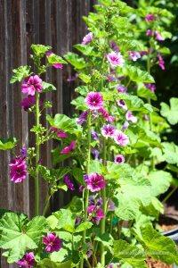 kwiaty przy płocie