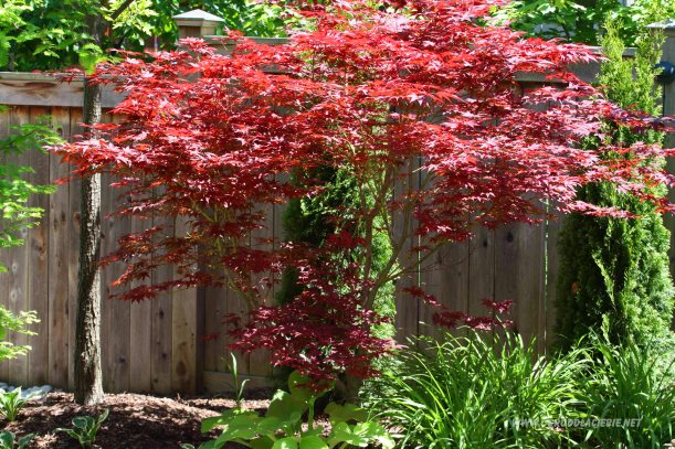 japoński klon w ogrodzie