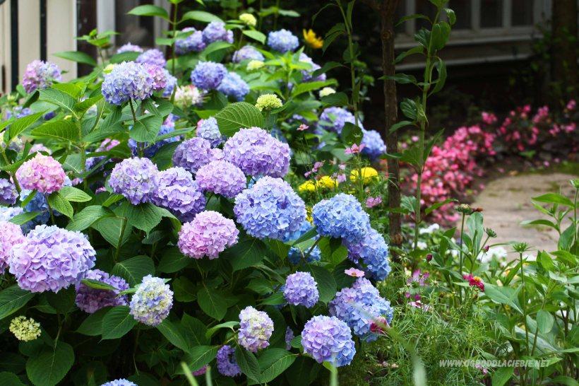 niebieskie hortensje w ogrodzie