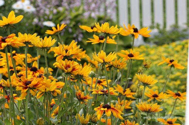 pomarańczowe kwiaty ogrodowe
