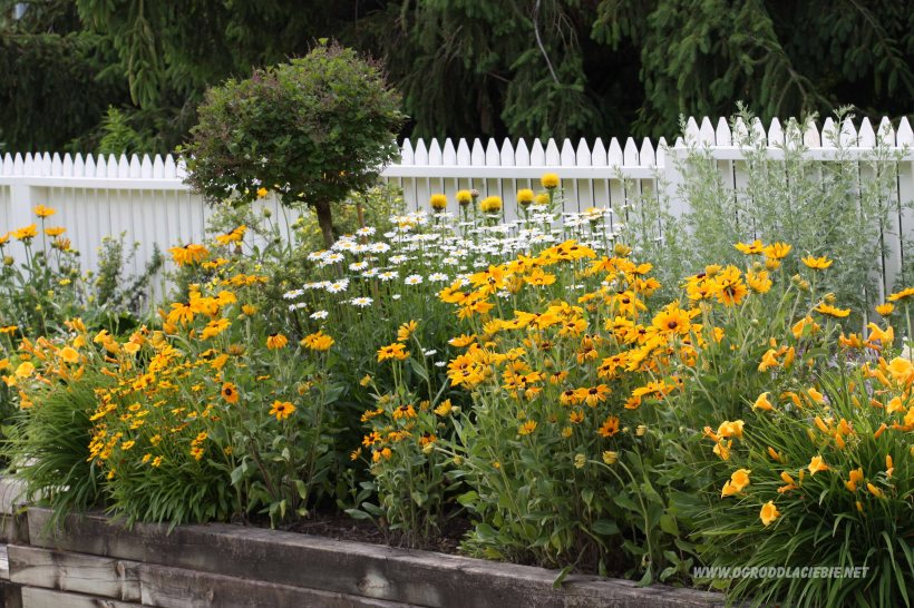 pomarańczowe kwiaty ogrodowe przy plocie