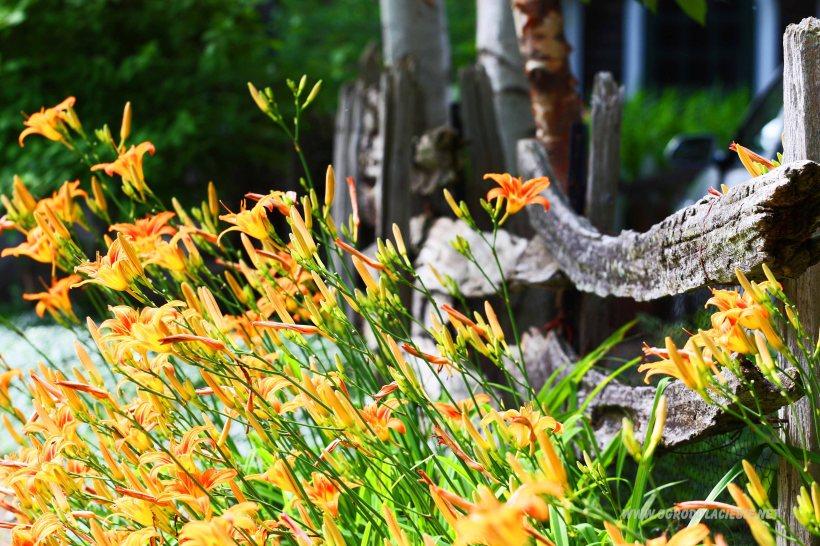 lilie przy płocie