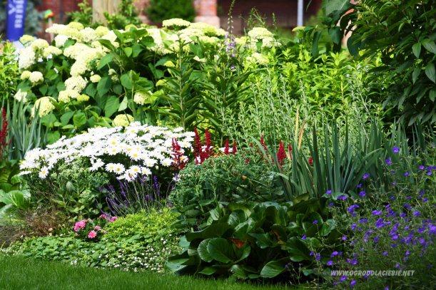 kwiatki margaretki